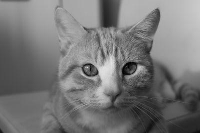 mačka, portret, ljubimac, crno-bijeli, slatka, oko, mačića, životinja