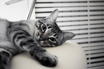 cat, animal, pet, cute, kitten, fur, monochrome, interior, kitty, eyes