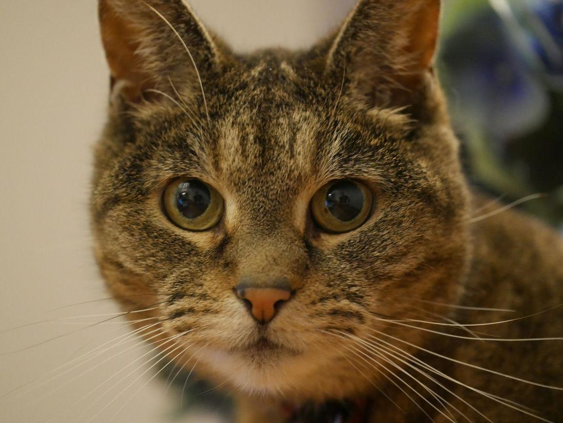 mèo, chân dung, dễ thương, vật nuôi, động vật, lông, đầu, mắt, mèo