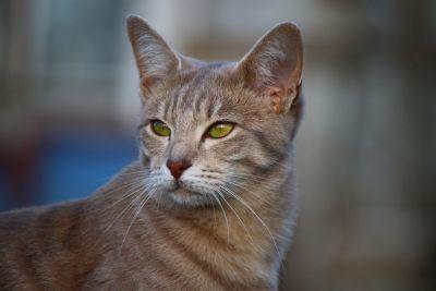 cat, cute, portrait, eye, feline, kitten, pet, fur, kitty