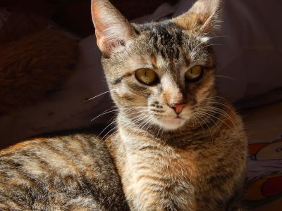 Katze, niedlich, Fell, Haustier, Auge, Porträt, Tiere, grau, Schatten, Kätzchen, Katze
