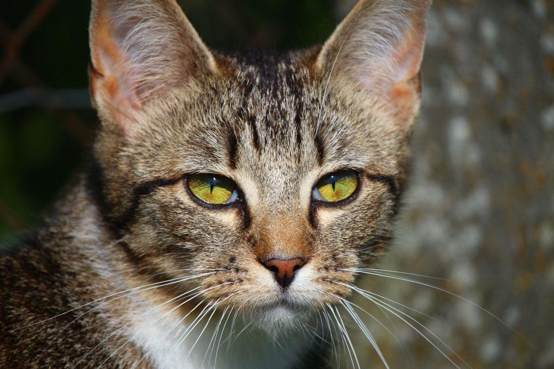 animal, cat, cute, pet, portrait, feline, kitten, kitty