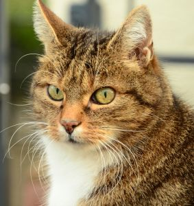 cat, cute, animal, fur, pet, portrait, kitten, eye, whisker