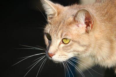 고양이, 초상화, 동물, 귀여운, 애완 동물, 눈, 새끼 고양이, 고양이