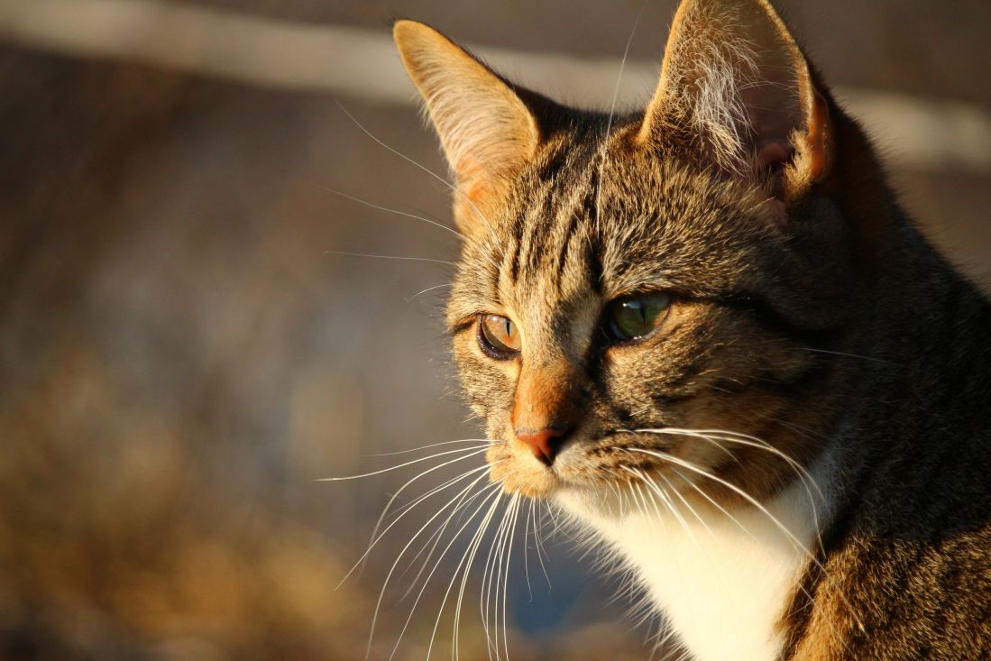 kostenlose bild katze niedlich portr t tier haustier augen fell katze kitty. Black Bedroom Furniture Sets. Home Design Ideas