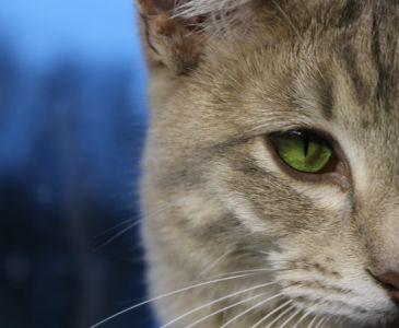 gatto, occhi, cute, gattino, animali, testa, pet, ritratto, pelliccia, felino