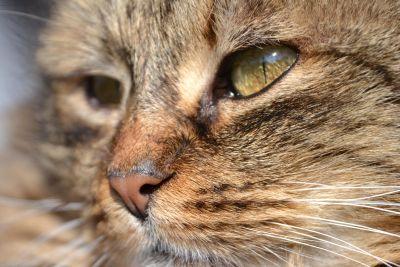 Cat, zvíře, oko, kotě, zvíře, hlava, portrét, roztomilý, kožešiny, vlásek
