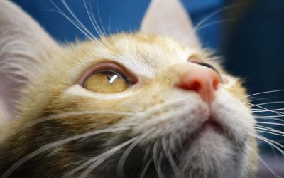 Cat, roztomilý, zvířecí, portrét, oko, bílá, pet, kotě, kožešiny