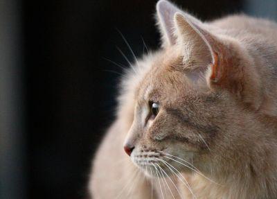kočka, oko, portrét, roztomilý, kožešiny, kočičí, domácí dcat
