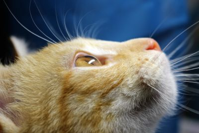 cat, pet, cute, kitten, animal, kitty, feline, fur, whisker, nose