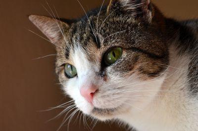 mačka, portrét, roztomilý, pet, očí, kožušiny, mačiatko, zviera, vlások