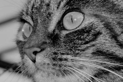 mačka, zviera, portrét, mačiatko, očí, kožušiny, pet, monochromatický, roztomilý, mačací