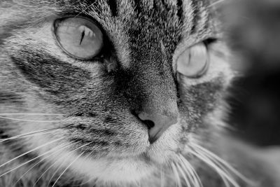 chat, oeil, monochrome, portrait, animal, animaux, fourrure, visage mignon, chaton,