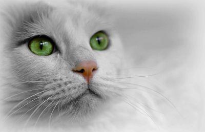 gatto, carino, occhi, animali, ritratto, kitty, testa, baffo, gattino, felino