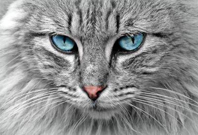 gato, animal, piel, ojo, lindo, gris, retrato, vida silvestre, cabeza