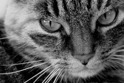 portrait, cat, eye, animal, monochrome, pet, cute, fur, face, head