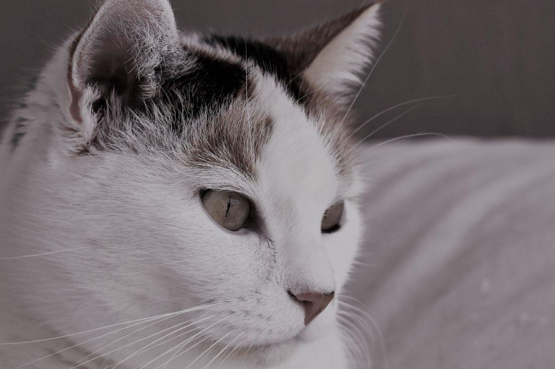chat, joli, portrait, oeil, animal, pet, chaton, chat blanc, domestique, félin