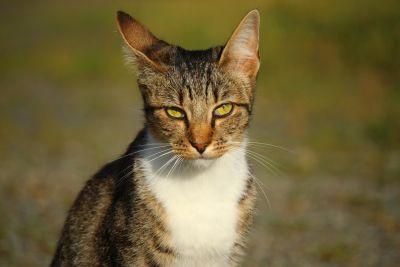 roztomilý, mačka, príroda, mačiek, domáce, zvedavý, mačiatko, hlavu, kitty, kožušiny, fúzy