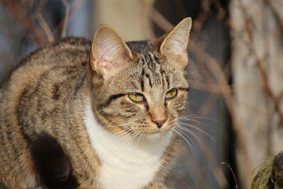 животните, домашна котка, сиво, коте, нишковидни, портрет, сладък, кожа