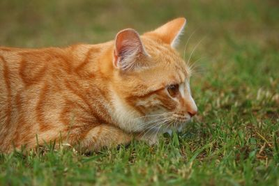 cat, cute, animal, fur, grass, grass, landscape, kitten, pet, eye, feline