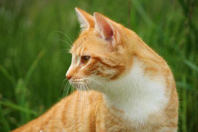 cute, animal, fur, grass, landscape, grass, summer, feline, cat, kitten, pet, kitty