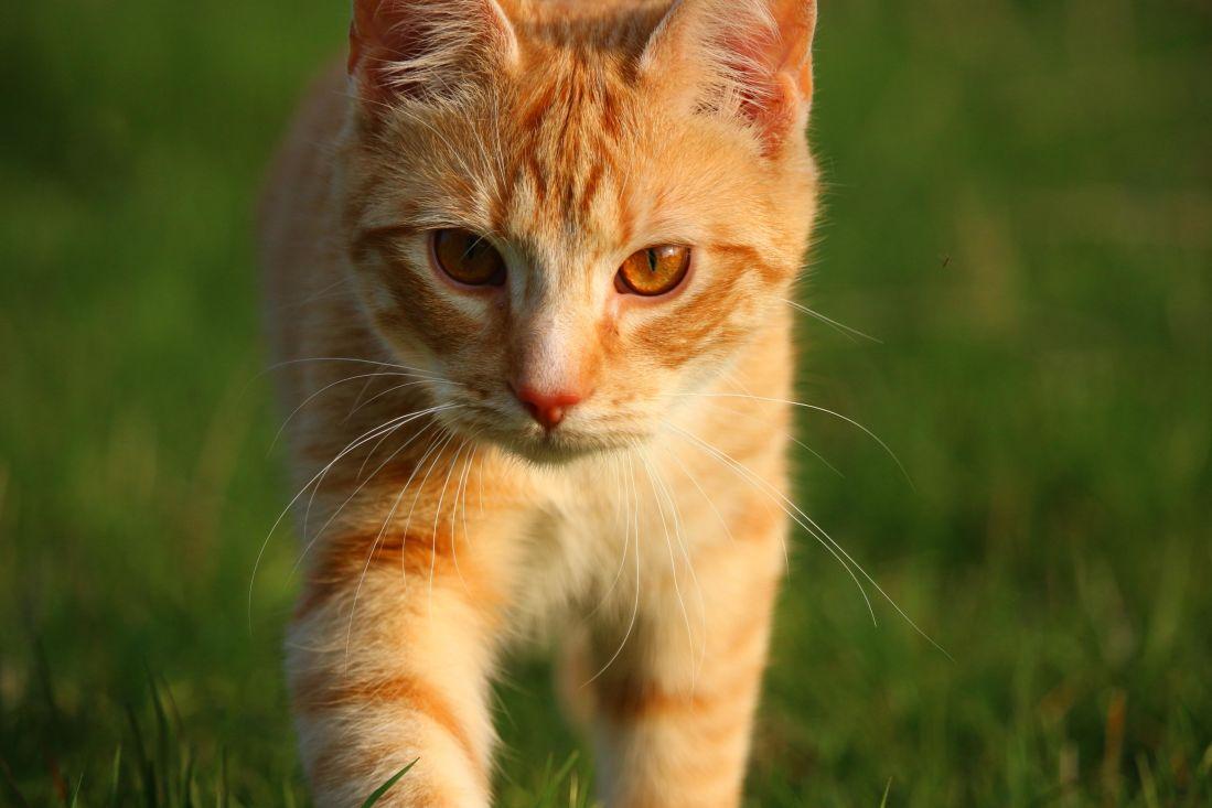 grama, gato bonitinho, amarelo, animal de estimação, peles, jovem, olho, retrato, gatinho