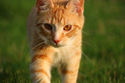 hierba, Gato lindo, amarillo, animal, piel, joven, ojo, retrato, gatito