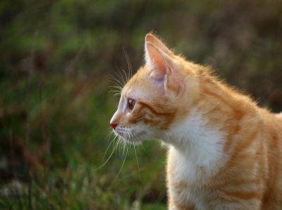 gato bonito, amarelo, animal, grama, curioso, ao ar livre, pele, natureza, olho