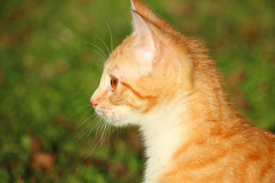 cute, yellow cat, animal, nature, fur, feline, kitten, pet