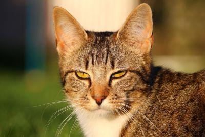 mignon, animal, chat, animal, félin, chaton, fourrure, kitty, moustaches