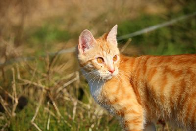 yellow cat, animal, portrait, nature, young, kitten, grass, summer, feline