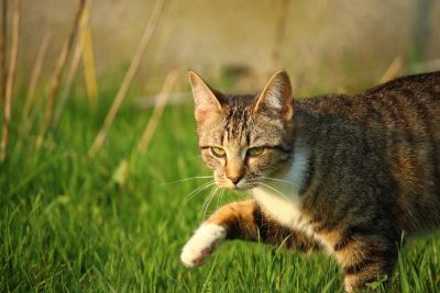 cute, gray cat, animal, fur, nature, grass, feline, grass, meadow, kitten
