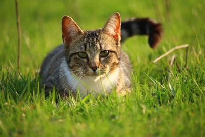 grass, cute, animal, nature, gray cat, feline, pet, kitten