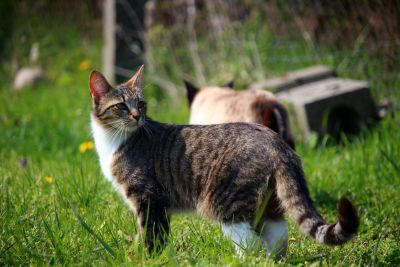 gris, chat, animaux, herbe, mignon, nature, animal, fourrure, chaton, jeune