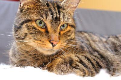 animal, domestic cat, fur, cute, feline, pet, kitten, kitty, whiskers