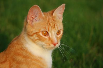 cute, animal, curious, yellow cat, feline, kitten, kitty, pet, fur, whiskers