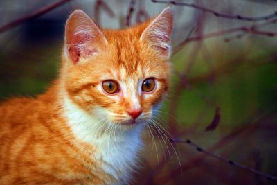 yellow cat, curious, young, kitten, animal, feline, fur, kitty, pet