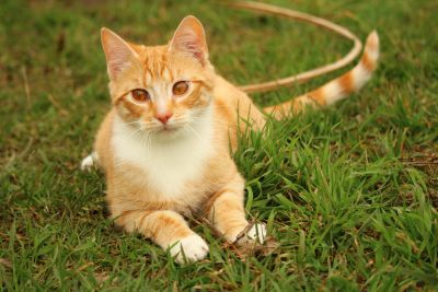 cute, grass, animal, domestic cat