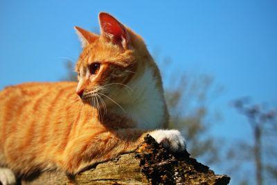 žuta mačka, kamena, vanjski, slatka, životinja