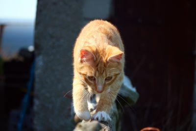 yellow cat, fence, outdoor, kitten, portrait