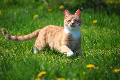 grass, cute, nature, animal, field, young, yellow cat, dandelion, grass