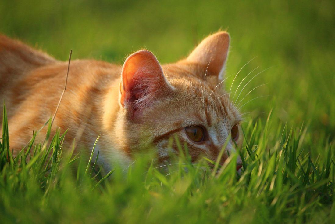Free Picture Green Grass Macro Yellow Cat Nature