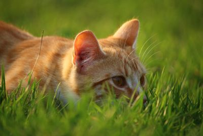 green grass, macro, yellow cat, nature, animal, fur, portrait, young