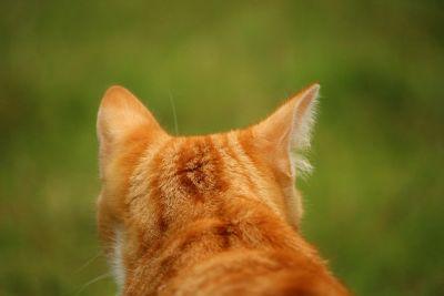 animal, naturaleza, lindo, gato, gato amarillo, cabeza, al aire libre