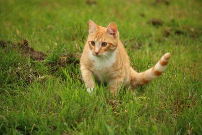 tráva, roztomilý, příroda, zvíře, kočka, Kočkovitý, kotě, pet