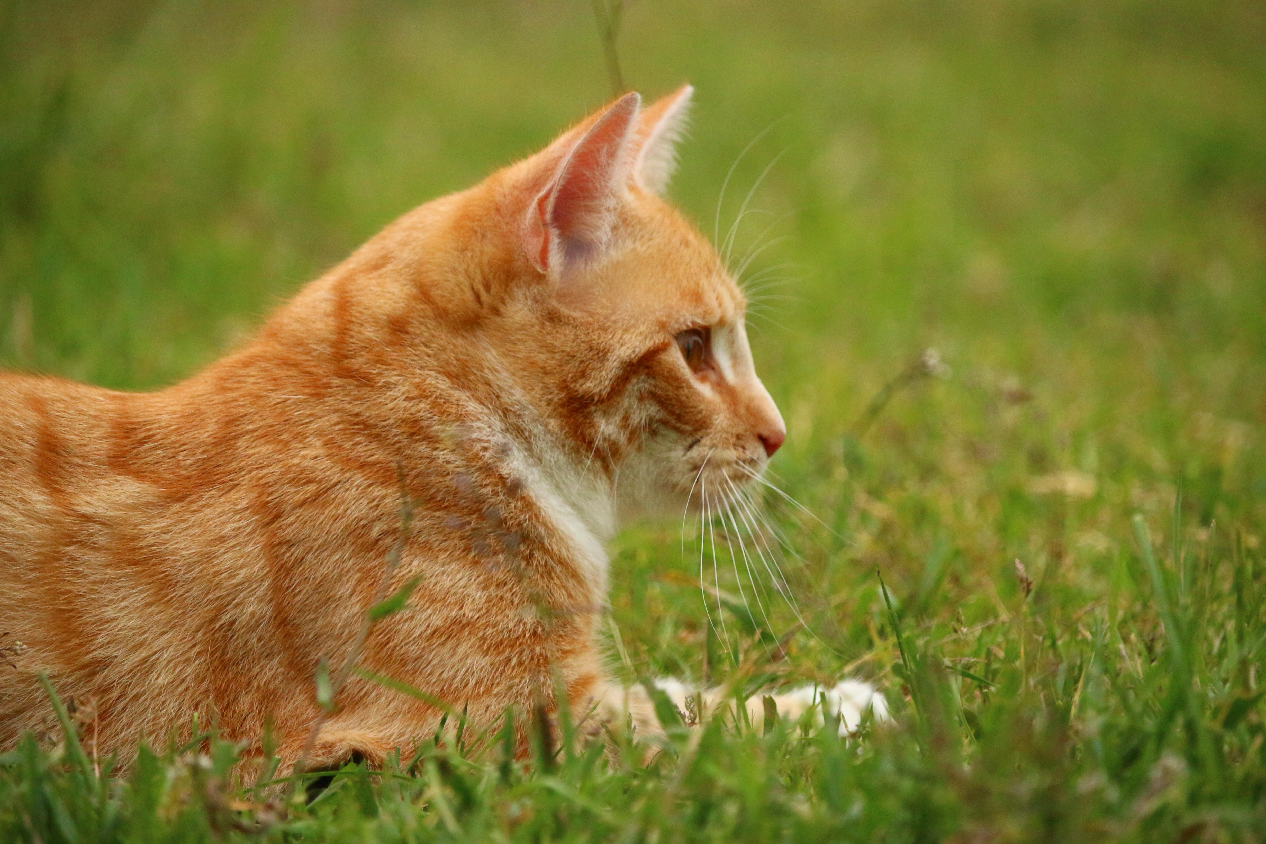 free picture: yellow cat, animal, grass, cute, nature, fur, feline