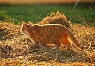 hierba, animales, gato doméstico, patio trasero, heno, naturaleza