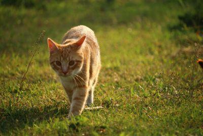 grass, animal, nature, yellow cat, feline, fur, kitten, pet