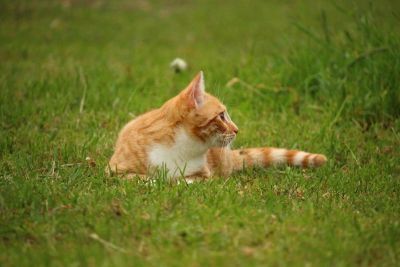 animal, green grass, landscape, outdoor, domestic cat
