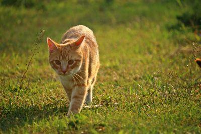 grass, animal, nature, cat, feline, fur, pet, kitten